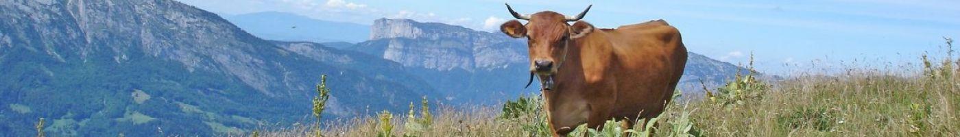 Vaches abondances dans les Aravis